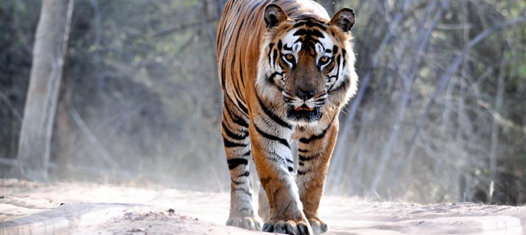 Bamera tiger