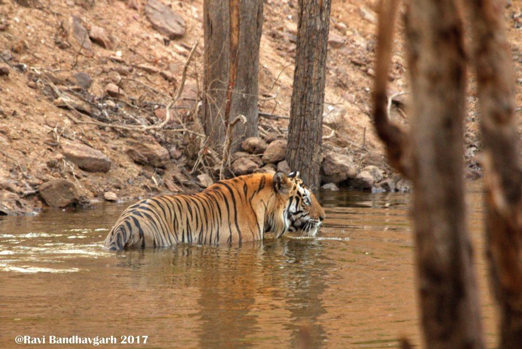 bheem tiger